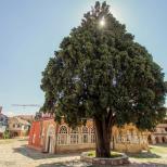 Chiparosul Sfantului Atanasie (peste 1000 de ani)